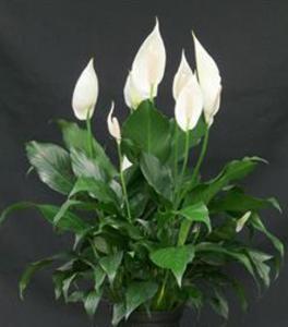 Eine ganz besondere Zimmerpflanze: Scheidenblatt (Spathiphyllum)
