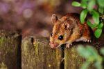 Mäuse! Was tun gegen die lästigen Untermieter?