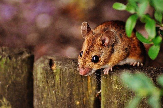 Mausbefall in Garten und Haus – wie Betroffene das Problem am besten angehen